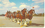 Click here to enlarge image and see more about item p19473: Budweiser Clydesdale 8 Horse Hitch Postcard p19473