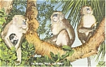 Click here to enlarge image and see more about item p1954: Monkey Jungle Miami FL Postcard