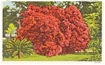 Azalea in Full Bloom Postcard p1957
