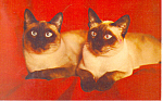 Click here to enlarge image and see more about item p19647: Siamese Cats Postcard p19647