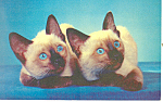 Click here to enlarge image and see more about item p19648: Siamese Cats Postcard p19648