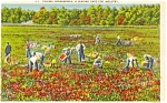 Click here to enlarge image and see more about item p1965: Cape Cod MA Cranberry Picking Postcard p1965