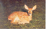 Whitetail Fawn in the Poconos Postcard p19905