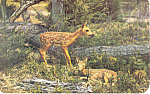 Whitetail Fawns in the Poconos Postcard p19906