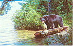 Click here to enlarge image and see more about item p19910: A Yearling Black Bear Postcard p19910