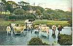 Click here to enlarge image and see more about item p19911: Cattle Standing in a Stream Postcard p19911
