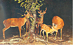 Deer Family in the Poconos Postcard p19915