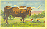 Click here to enlarge image and see more about item p19916: Texas Long Horn Steer Postcard p19916