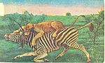 Click here to enlarge image and see more about item p19924: Lioness Killing a Zebra Postcard p19924