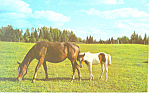 Click here to enlarge image and see more about item p19926: Horse and Colt Postcard p19926