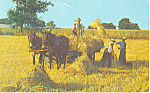 Amish Harvesting Wheat Postcard p19995