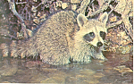Click here to enlarge image and see more about item p21081: Raccoon Procyon Lotor Postcard p21081