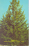 Click here to enlarge image and see more about item p21761: Hemlock Pennsylvania's State Tree