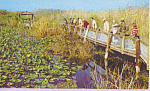 Click here to enlarge image and see more about item p22037: Anhinga Trail Florida s Everglades National Park p22037