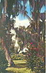 Click here to enlarge image and see more about item p22040: Live Oaks and Camellias Postcard p22040