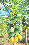 Click here to enlarge image and see more about item p22044: Papaya Tree in Florida Postcard p22044