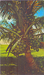 Click here to enlarge image and see more about item p22045: Coconut Tree Loaded with Coconuts in Florida p22045