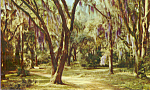 Click here to enlarge image and see more about item p22059: Moss Draped Live Oaks Postcard p22059