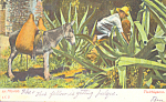 Click here to enlarge image and see more about item p22133: Man with Donkey Harvesting Cactus Mexico p22133