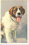 Berhardinerhund Saint Bernhard