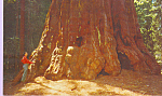 Click here to enlarge image and see more about item p22297: Washington Tree,Sequoia National Park