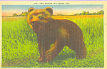 Click here to enlarge image and see more about item p22364: Two Months Old Kodiak Cub Postcard p22364