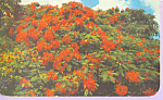 Click here to enlarge image and see more about item p22384: The Royal Poinciana Postcard p22384