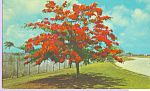 Click here to enlarge image and see more about item p22385: The Flame Tree Guam p22385