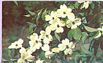 Click here to enlarge image and see more about item p22519: Dogwood North Carolina State Flower p22519