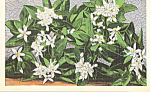 Florida Orange Blossoms Postcard p22676