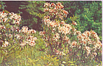 Click here to enlarge image and see more about item p22692: Mountain Laurel at Allegheny National Forest PA p22692