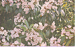 Click here to enlarge image and see more about item p22693: Mountain Laurel,Pennsylvania State Flower
