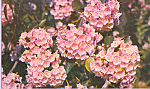Click here to enlarge image and see more about item p22695: Mountain Laurel,Pennsylvania State Flower