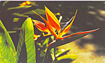 Click here to enlarge image and see more about item p22827: Bird of Paradise Postcard p22827