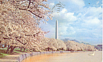 Washington Monument Through Cherry Blossoms