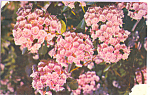 Click here to enlarge image and see more about item p23036: Mountain Laurel Pennsylvania State Flower