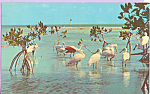 Click here to enlarge image and see more about item p23104: Roseate Spoonbills at Everglades National Park