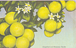 Grapefruit and Blossoms  Florida Postcard p23276
