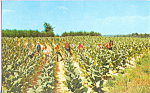 Click here to enlarge image and see more about item p23280: Harvesting Tobacco Postcard p23280