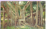 Click here to enlarge image and see more about item p23354: Banyan Tree Thomas A. Edison Winter Home