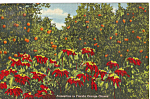 Click here to enlarge image and see more about item p23433: Poinsttias in Florida Orange Grove Postcard p23433