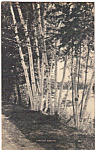 Click here to enlarge image and see more about item p23816: Lakeside Birches Postcard p23816