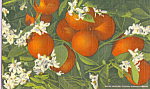 Florida Orange Blossom Time Postcard p2393