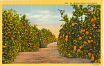 Click here to enlarge image and see more about item p23949: Orange Grove California Postcard p23949