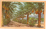 Click here to enlarge image and see more about item p23960: Date Palms in California
