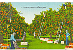 Click here to enlarge image and see more about item p24027: Picking Oranges in Sunny Florida Postcard p24027