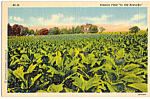 Tobacco Field in Old Kentucky Postcard p24314