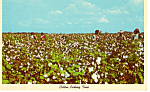 Cotton Picking Time Postcard p24316