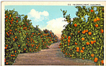 Click here to enlarge image and see more about item p24357: An Orange Grove California Postcard p24357