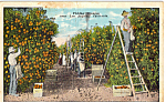Click here to enlarge image and see more about item p24358: Picking Oranges California Postcard p24358